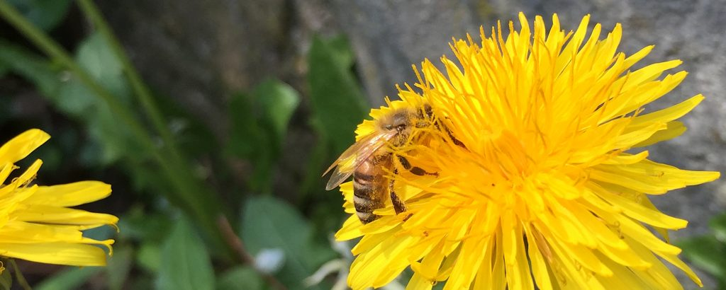 Honigbiene in Wegberg-Holtum auf einer Löwenzahnblüte