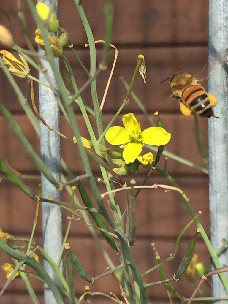 Biene sammelt Pollen auf Rucoloa-Blüten