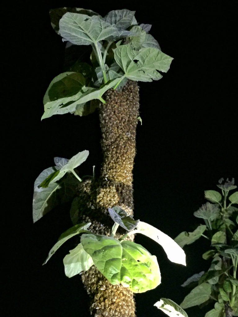 Nächtlicher Bienenschwarm - Teil 2