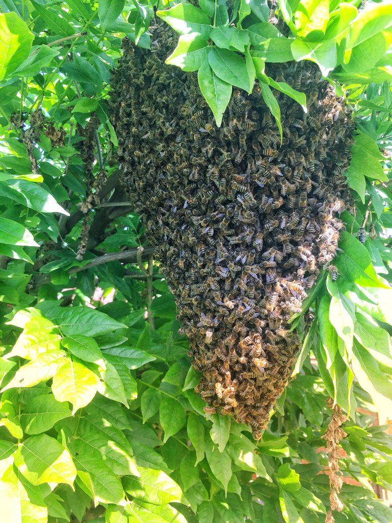 Bienenschwarm im Blauregen